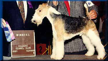 """Bandit"" Birchhurst Wire Fox Terrier"
